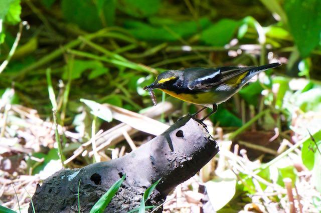 舳倉島 蛹を食べるキビタキ♂ _DSC5912.jpg