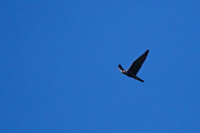 瀬上市民の森 ドバトを襲うハヤブサ幼鳥 _DSC0110.jpg