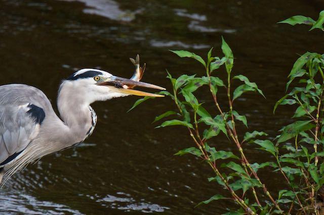 㹨川 オイカワを捕らえたアオサギ1 _DSC1372.jpg