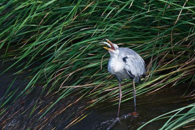 㹨川 オイカワを食べるアオサギ2 _DSC8958.jpg