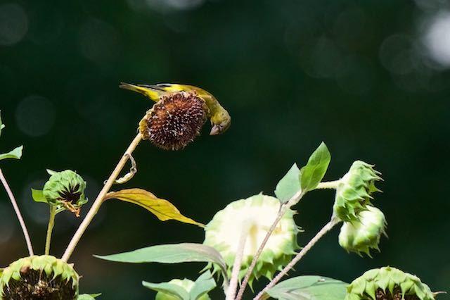 㹨川 ヒマワリの種を食べようとするカワラヒワ _DSC7823.jpg
