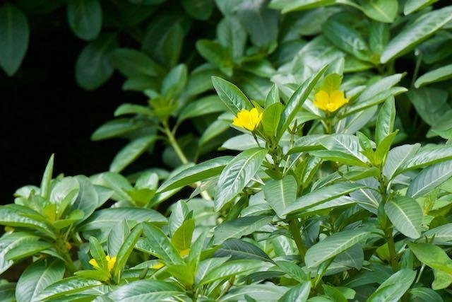 㹨川 ミズキンバイが咲いていました _DSC3596.jpg