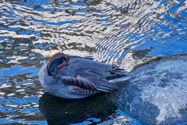 㹨川 休息するコガモ♂ _DSC9923.jpg