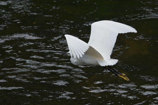 㹨川 何も漁をしないで飛んで行くコサギ _DSC3502.jpg