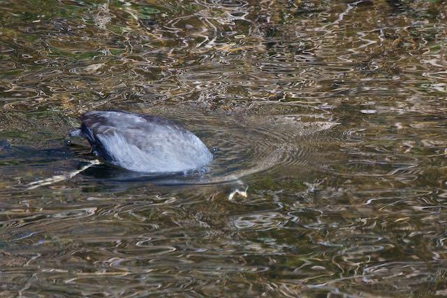 㹨川 大きく嘴を開き水草を採食するオオバン _DSC6430.jpg