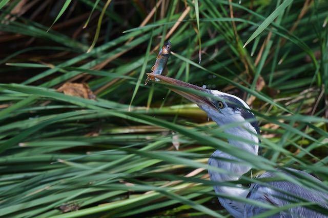 㹨川 婚姻色のオイカワを捕まえたアオサギ _DSC9921.jpg
