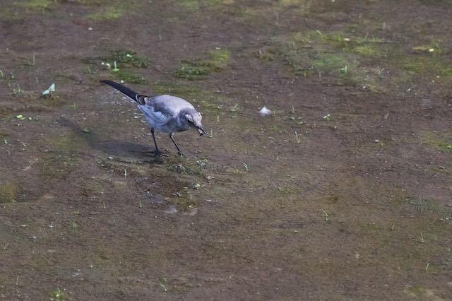 㹨川 小さな獲物を食べるハクセキレイ幼鳥1 _DSC7976.jpg