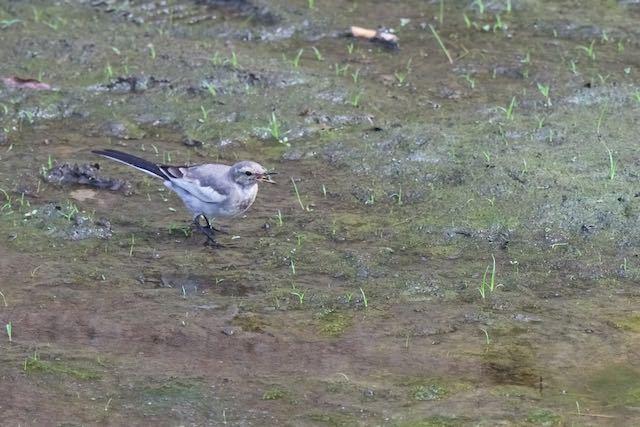 㹨川 小さな獲物を食べるハクセキレイ幼鳥2 _DSC7894.jpg