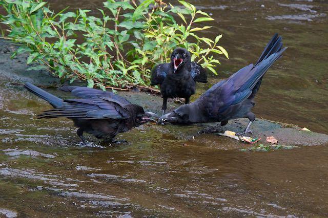 㹨川 巣立ち雛に給餌するハシブトガラス1 _DSC1431.jpg