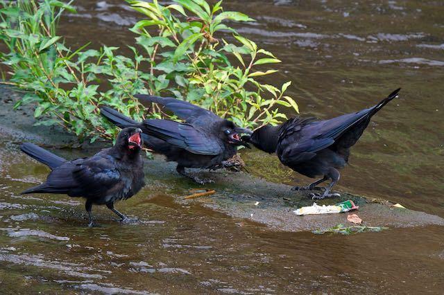 㹨川 巣立ち雛に給餌するハシブトガラス2 _DSC1447.jpg