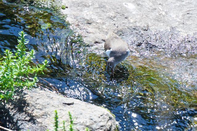 㹨川 採食するイソシギ _DSC3505.jpg