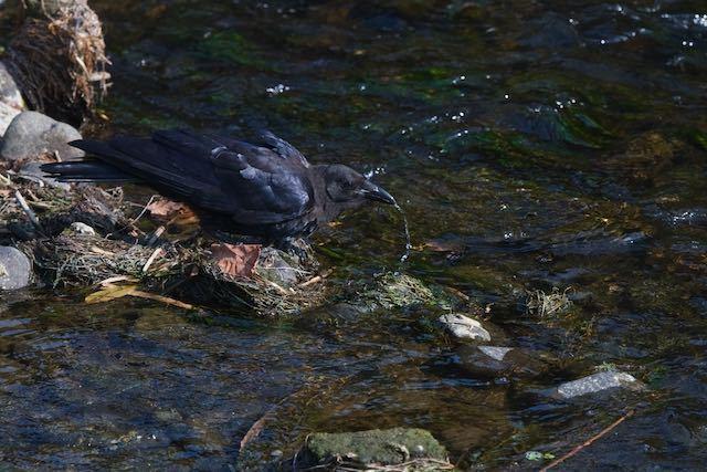 㹨川 水を飲むハシボソガラス _DSC8800.jpg