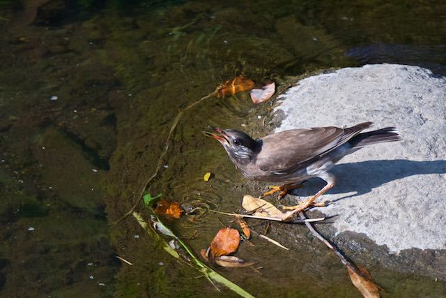㹨川 水を飲むムクドリ幼鳥 _DSC0510.jpg