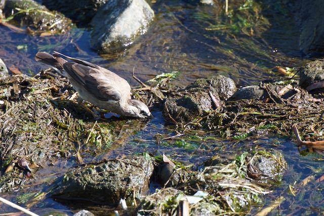 㹨川 水を飲むムクドリ幼鳥 _DSC9958.jpg