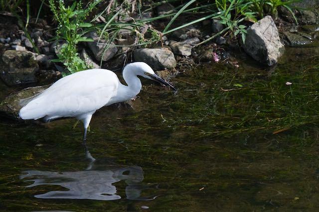 㹨川 水草にいる微生物を食べるコサギ1 _DSC8843.jpg
