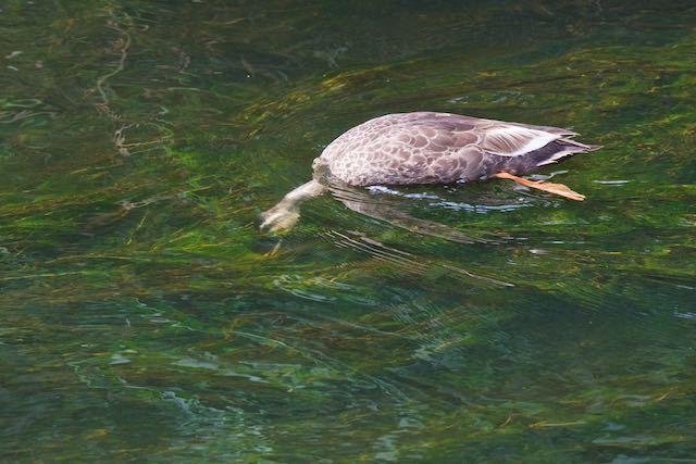 㹨川 水草の中の微生物を食べるカルガモ _DSC8028.jpg