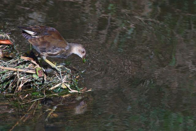 㹨川 水草を食べるバン幼鳥4 _DSC6475.jpg