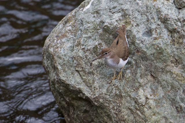 㹨川 石の上で採食していたイソシギ _DSC3657.jpg
