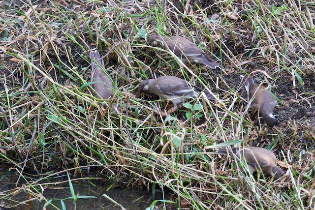 㹨川 群れで採食するムクドリ幼鳥 _DSC0539.jpg