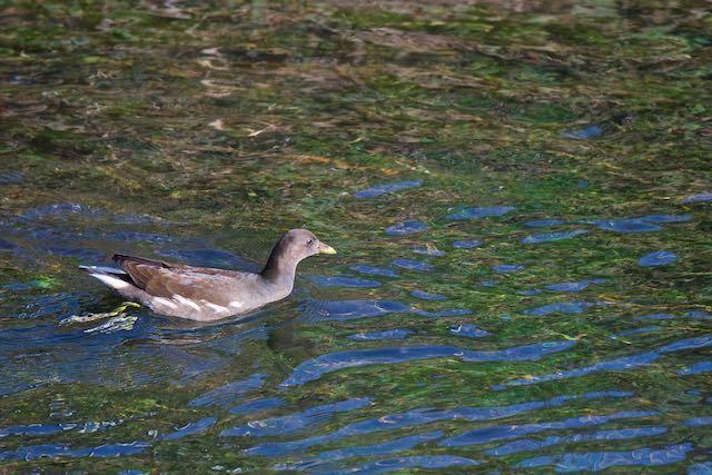 㹨川 速い流れを泳ぐバン若鳥 _DSC0028.jpg