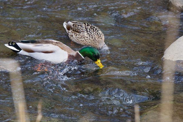 㹨川 雌雄で採食するマガモ _DSC3395.jpg