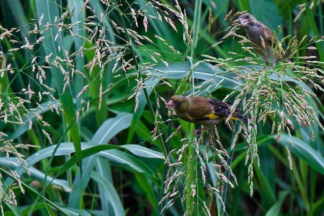 㹨川 雑草の種子を採食するカワラヒワ _DSC1471.jpg