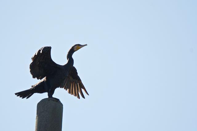 㹨川 電信柱に止まり羽を乾かすカワウ _DSC0037.jpg