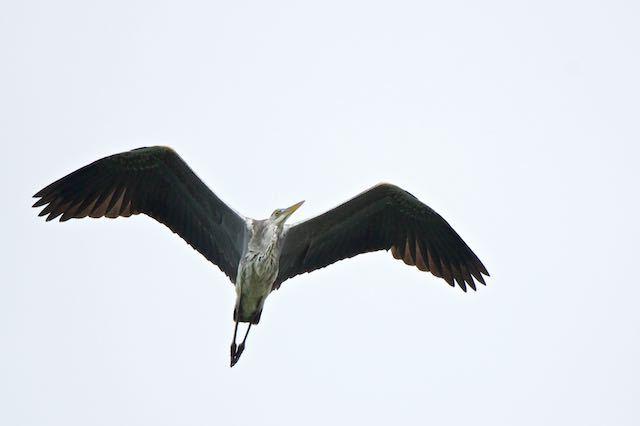 㹨川 頭上を飛んで行ったアオサギ _DSC3509.jpg