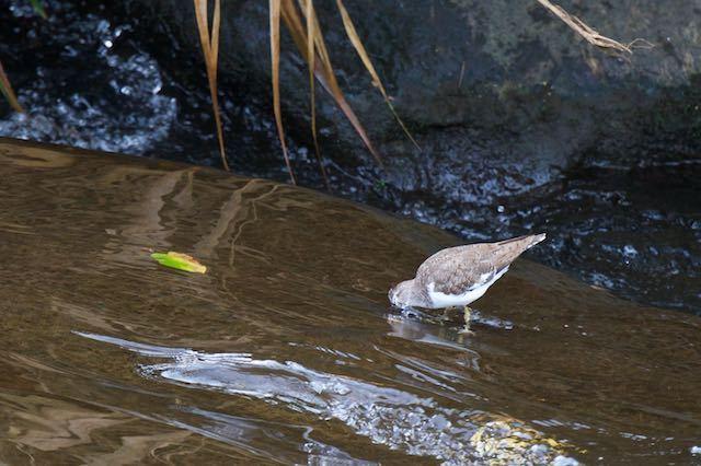 㹨川 顔を水に突っ込んで採食するイソシギ _DSC3634.jpg