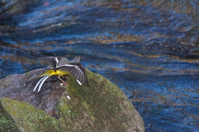 㹨川 飛び立つ寸前のキセキレイ _DSC0193.jpg