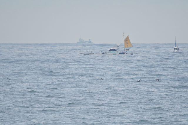 城ヶ島 沖合を飛ぶ4羽のアビ類 _DSC0207.jpg