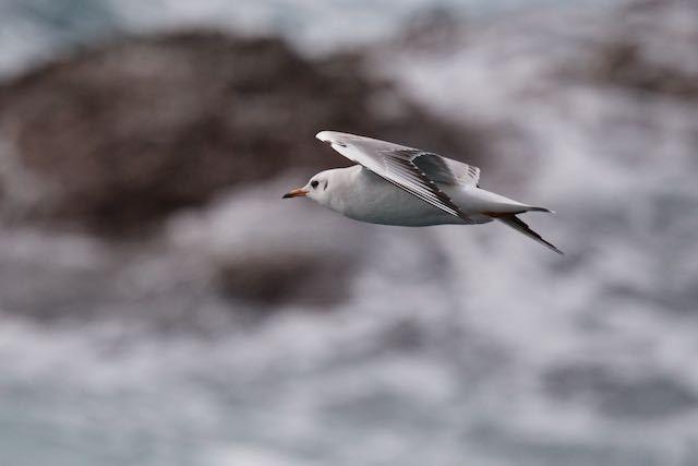城ヶ島 荒波をバックにユリカモメ _DSC9502.jpg