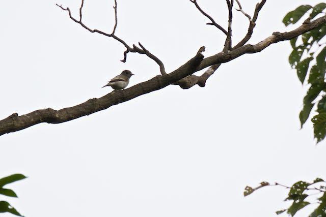 小菅ケ谷北公園 コサメビタキ _DSC2078.jpg