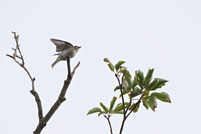 小菅ケ谷北公園 ミズキの天辺に止まるコサメビタキ _DSC2015.jpg