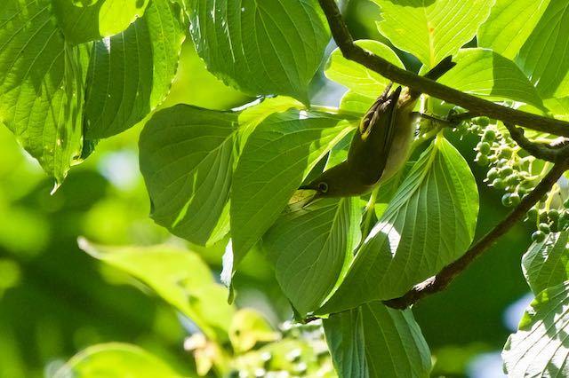 小菅ケ谷北公園 嘴を大きく広げ採食しようとするメジロ _DSC4706.jpg