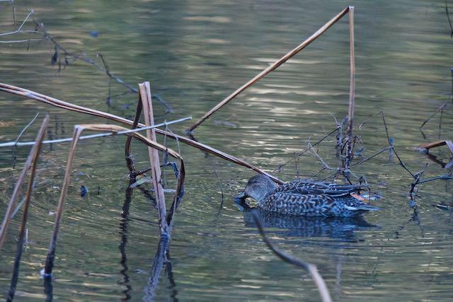 山崎 小さな池で採食するコガモ♀ _DSC0128.jpg