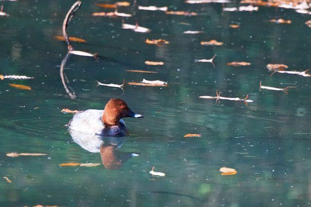 山崎 小さな池にホシハジロ _DSC5593.jpg
