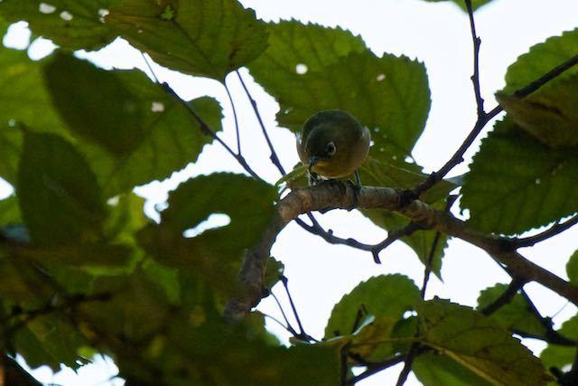 山崎 幼虫を捕まえたメジロ1 _DSC7420.jpg