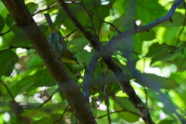 山崎 幼虫を捕まえたメジロ2 _DSC7555.jpg