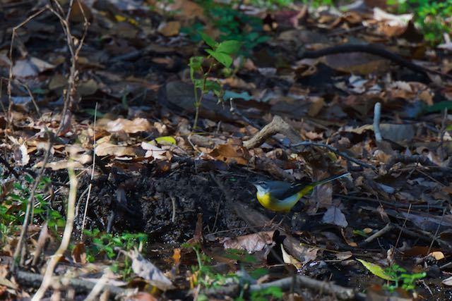山崎 池で採食していたキセキレイ _DSC8286.jpg