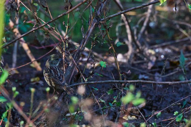 山崎 湿地で採食していたアオジ _DSC8360.jpg