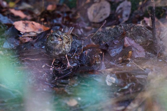 山崎 湿地で採食していたクロジ♀ _DSC0084.jpg