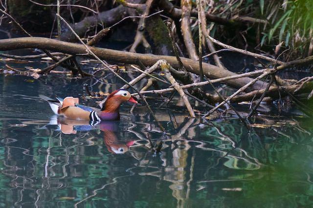 山崎 狭い池にオシドリ♂ _DSC8227.jpg