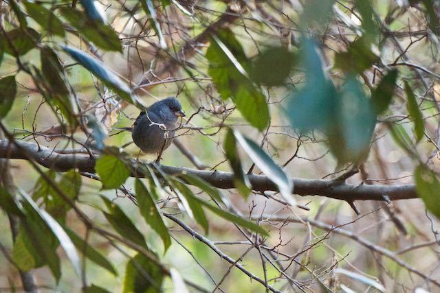 山崎 藪から出て来て枝に止まるクロジ♂ _DSC1589.jpg