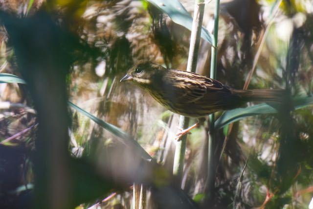 山崎 藪の中のアオジ _DSC4408.jpg