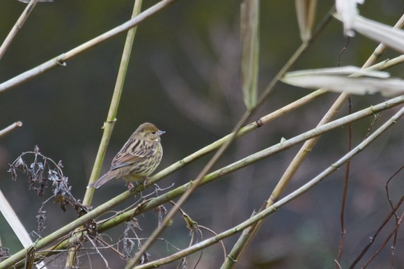 散在ガ池森林公園 アオジ _DSC9154.jpg