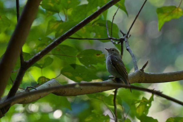 散在ガ池森林公園 キビタキ♂幼鳥 _DSC2181.jpg