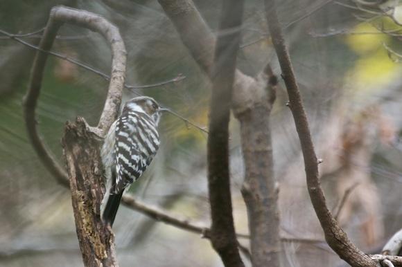 散在ガ池森林公園 コゲラ _DSC9192.jpg