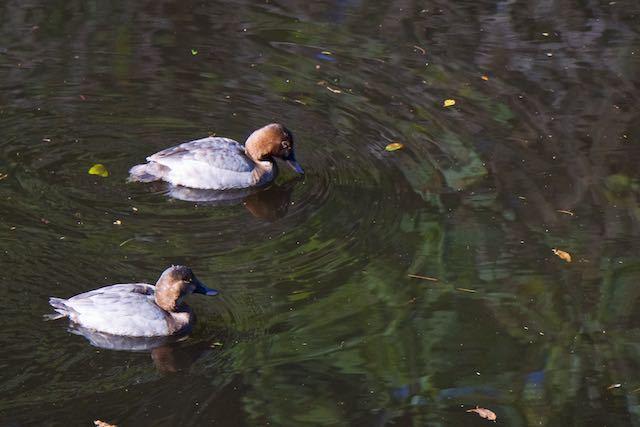 散在ガ池森林公園 ホシハジロ _DSC5363.jpg