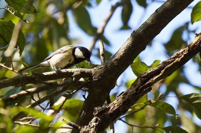 散在ガ池森林公園 幼虫を採食するシジュウカラ _DSC2337.jpg